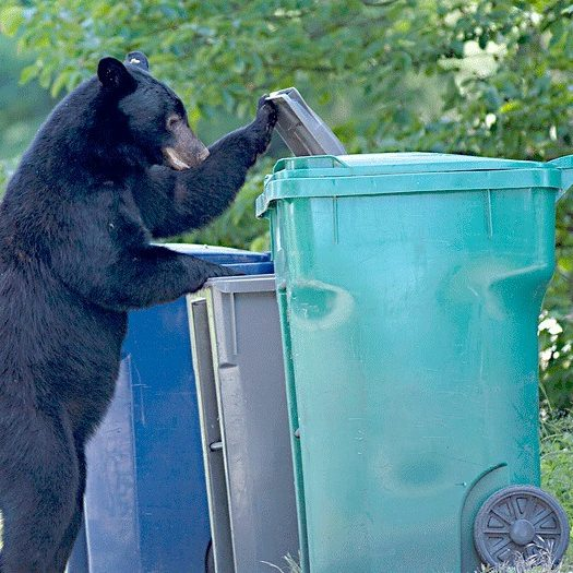 bear and trash 48872issaquahn-Bear-and-garbage-can